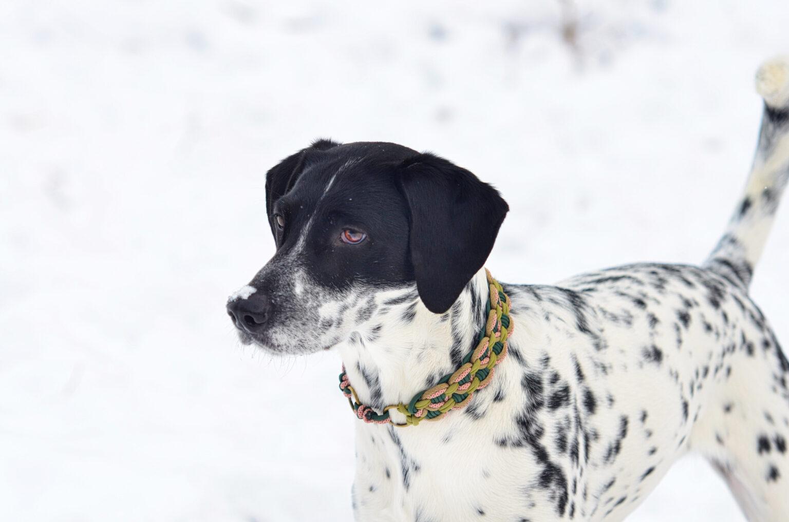 Rosa zeigt hier eine Spielwiese in grün , rosa und gold.  Durch die geringe Dicke ist das Halsband sehr leicht und stört daher keinesfalls beim Toben im Schnee.