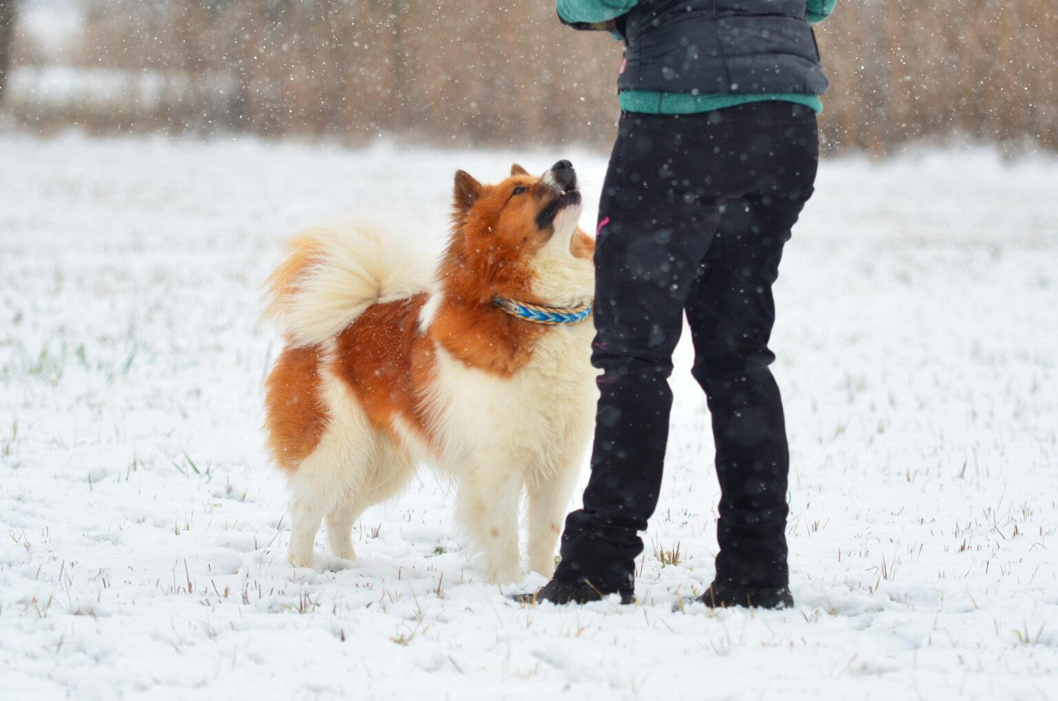 Unser kleiner Gismo testet hier sein Pfeilspiel beim Futterbeuteln im Schnee. Trotz seines dicken Pelzes sieht man das Halsband durch das Wuschelfell hervorblitzen.