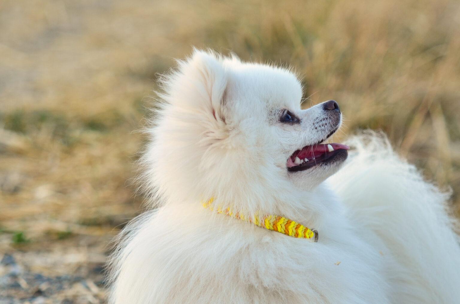 Der kleine Zwergspitz Balu zeigt, dass der Ringelwurm in Paracord Typ I auch für kleine Hunde super geeignet ist!