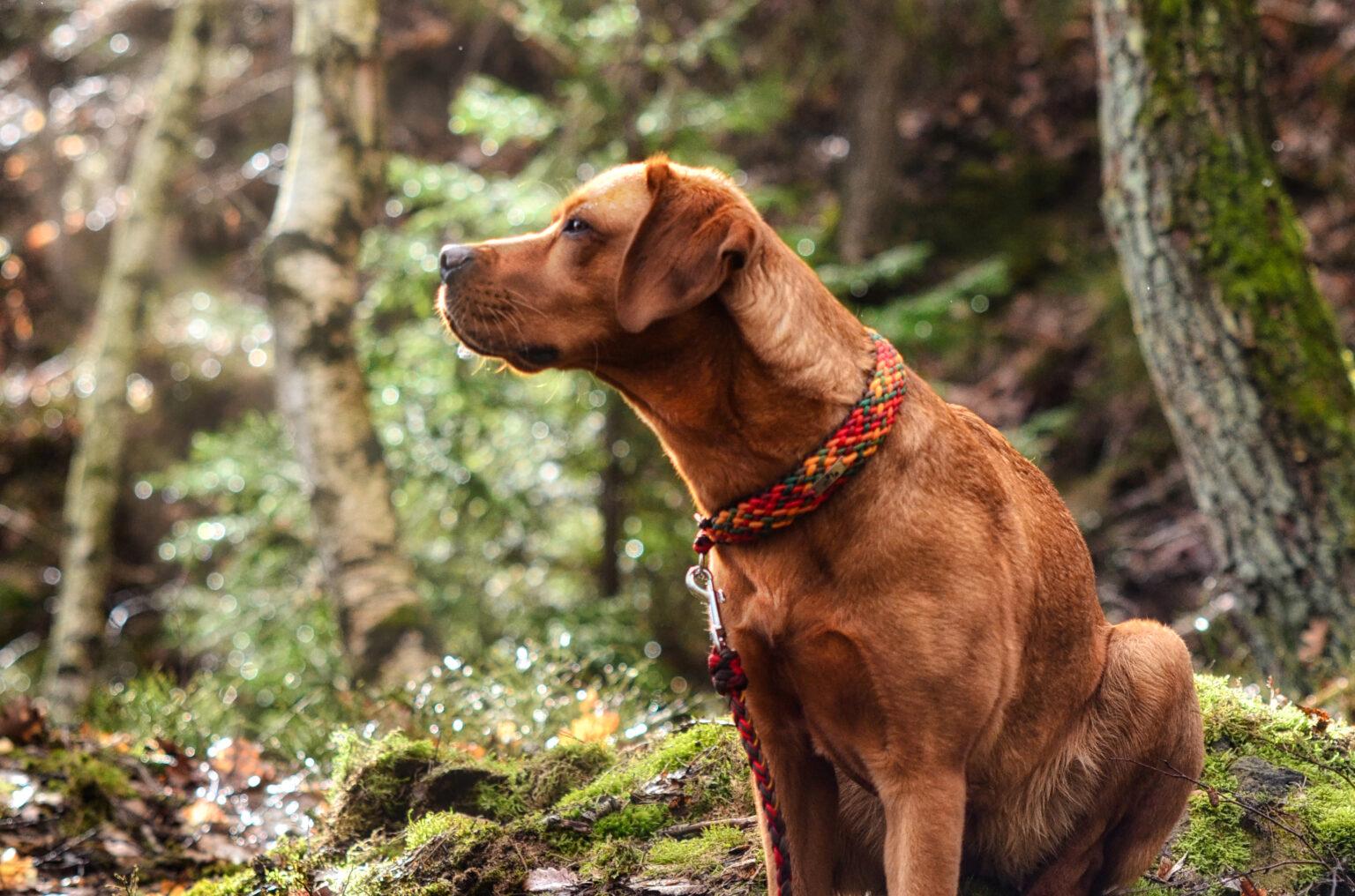 Die Halsbänder sind nicht nur zum Ausgehen, sondern für jede Situation und jedes Wetter geeignet. Das beweist Labradorlady Mila, die mit Herrchen und Frauchen und dem passenden Equipment über Stock und Stein geht.