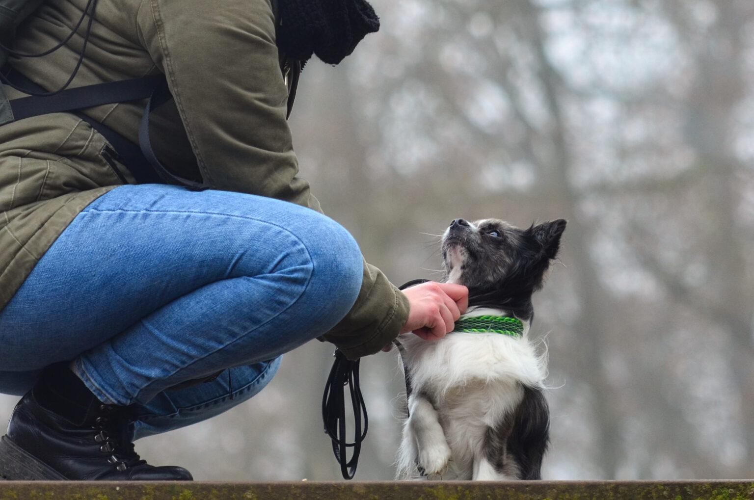 Bjarni bekommt von seiner Besitzerin liebevoll das Halsband zurechtgeruckt. Im Paracord Typ I steht es dem kleinen Chihuahua richtig klasse!