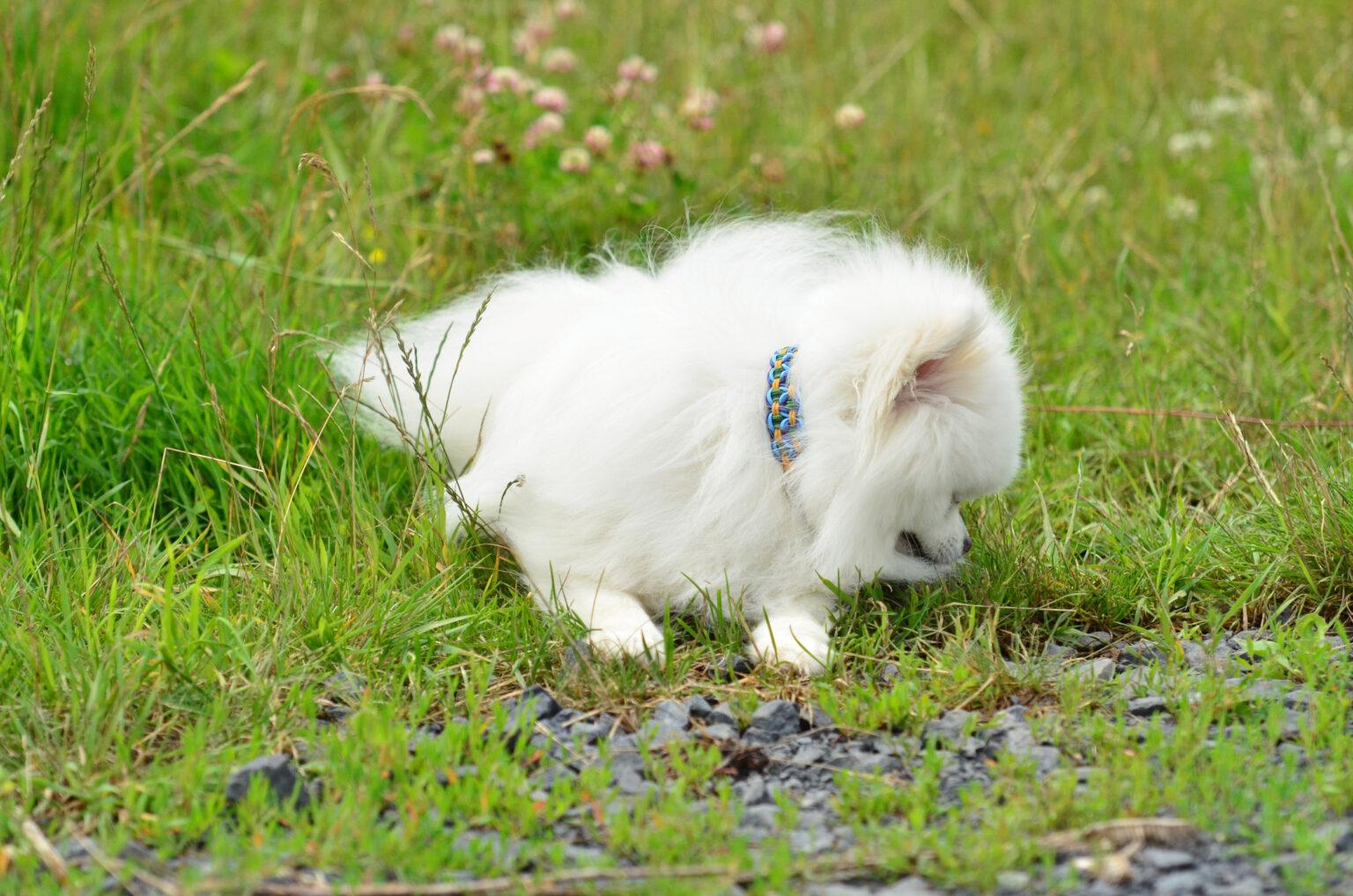 Das die Spielwiese auch für kleine Hunde geeignet ist zeigt Balu. Im 1er Cord ist das Halsband ca. 2 cm breit und ist daher auch bei viel Fell zu sehen.