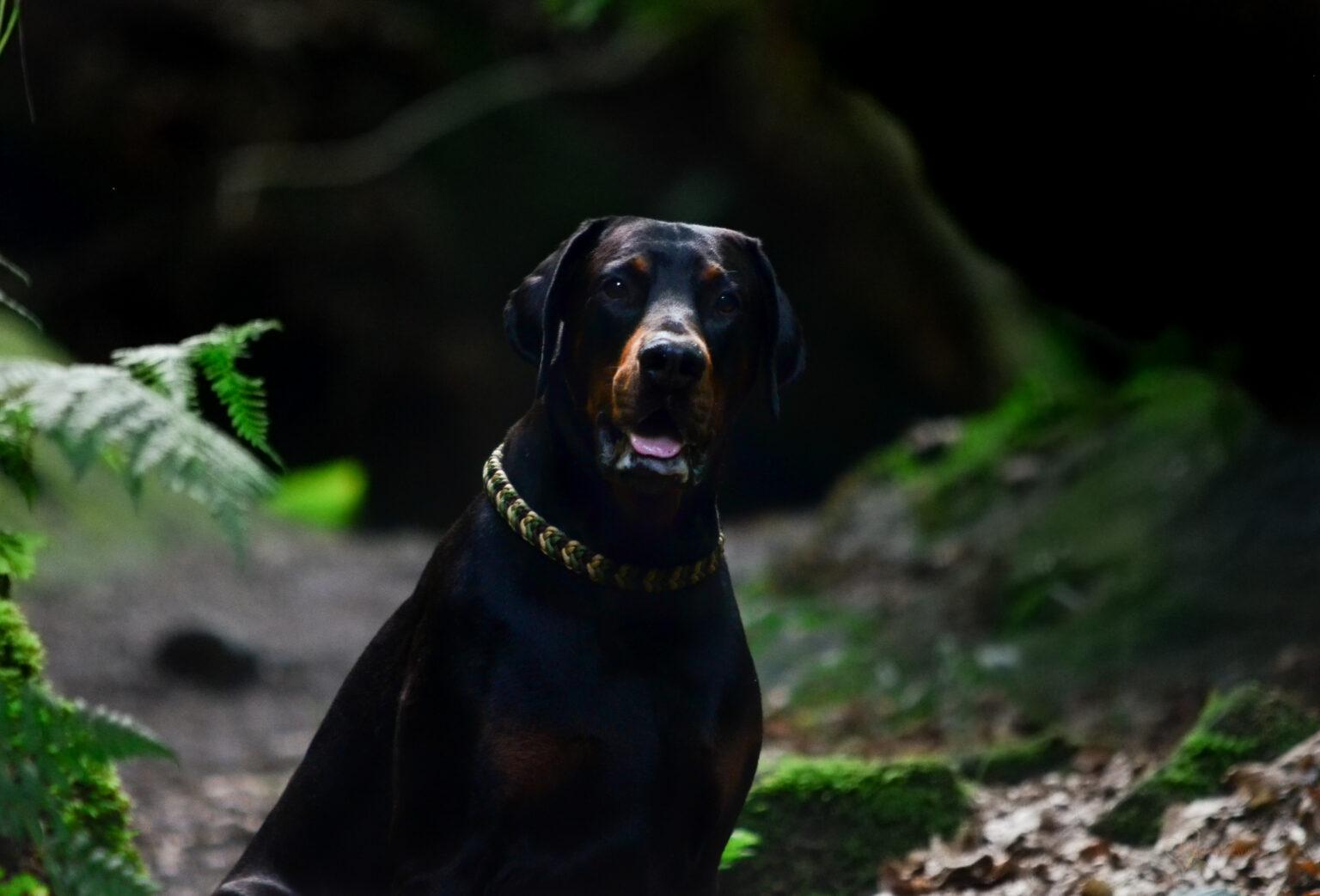 Ob Dobermann oder Zwergspitz, in der richtigen Cordstärke können die Halsbänder einfach von jedem Hund getragen werden.
