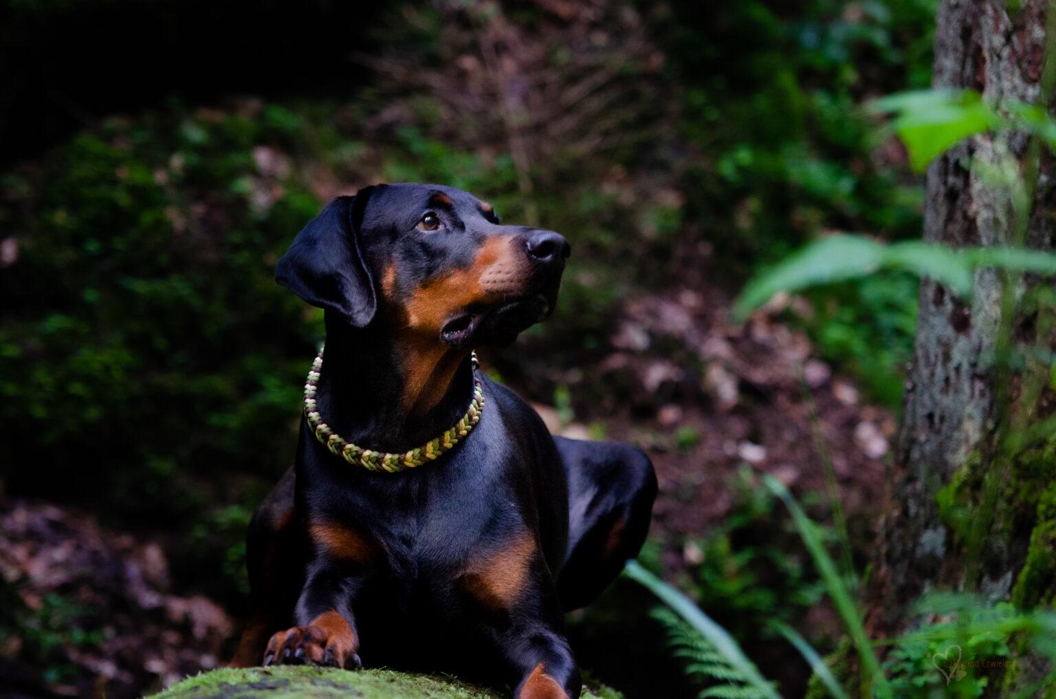 Dinari zeigt, dass auch ein schmales Halsband geeignet für große Hunde sein kann.